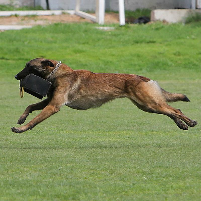 dressage chien 13